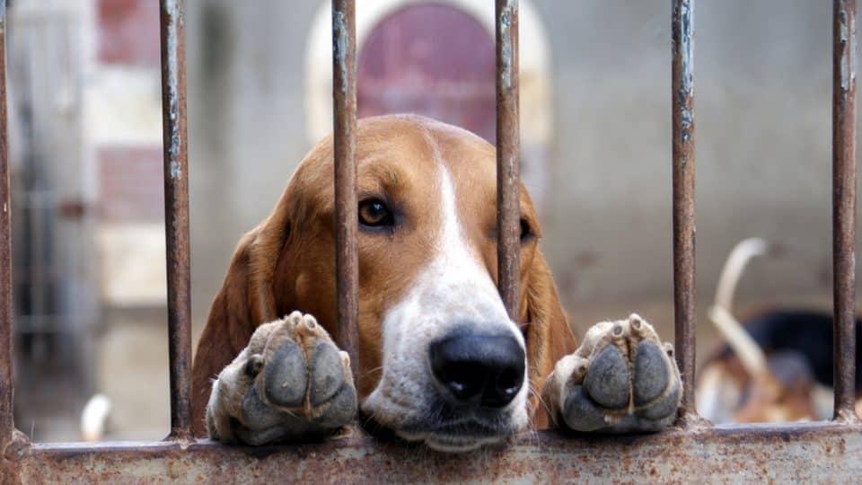 rescue dog basset hound