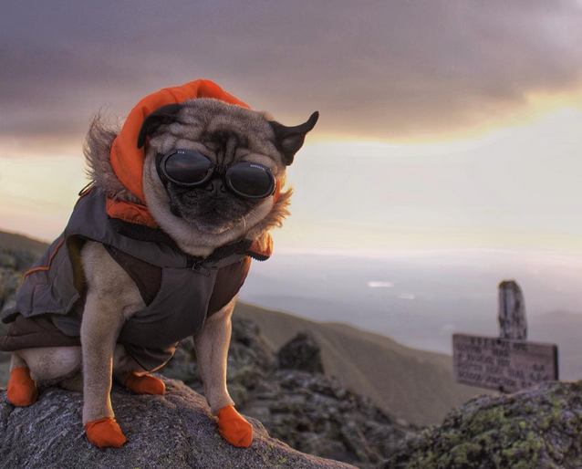 funny pug in hiking gear