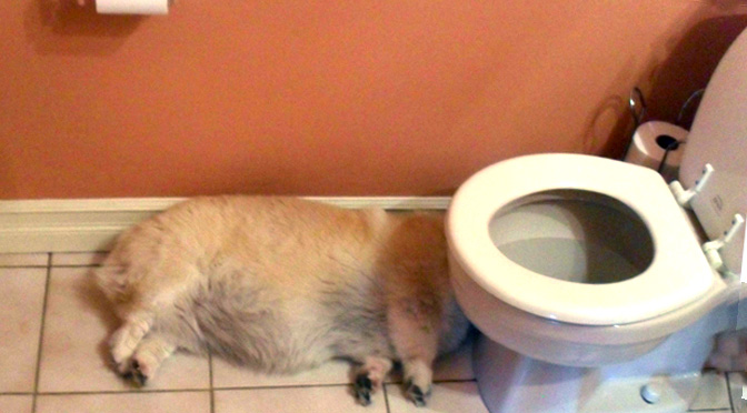 drunk corgi toilet