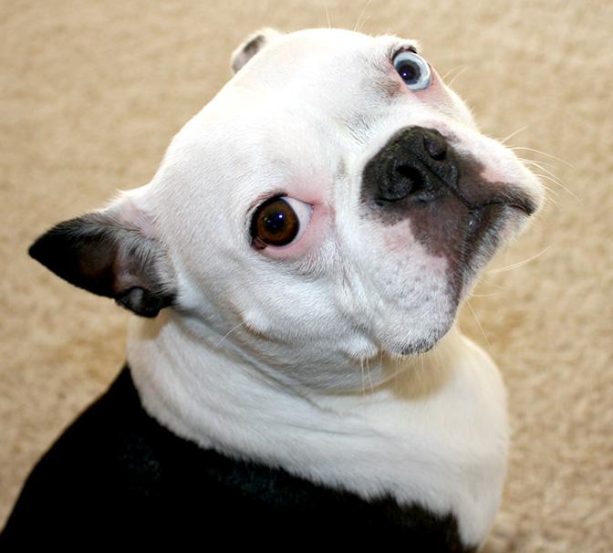 gimli boston terrier one blue eye