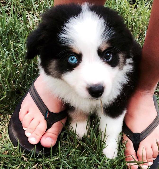 mini australian shepherd one blue eye