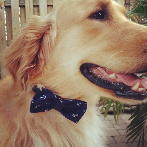 preppy bow tie golden retriever