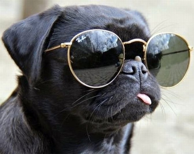 pug sunglasses