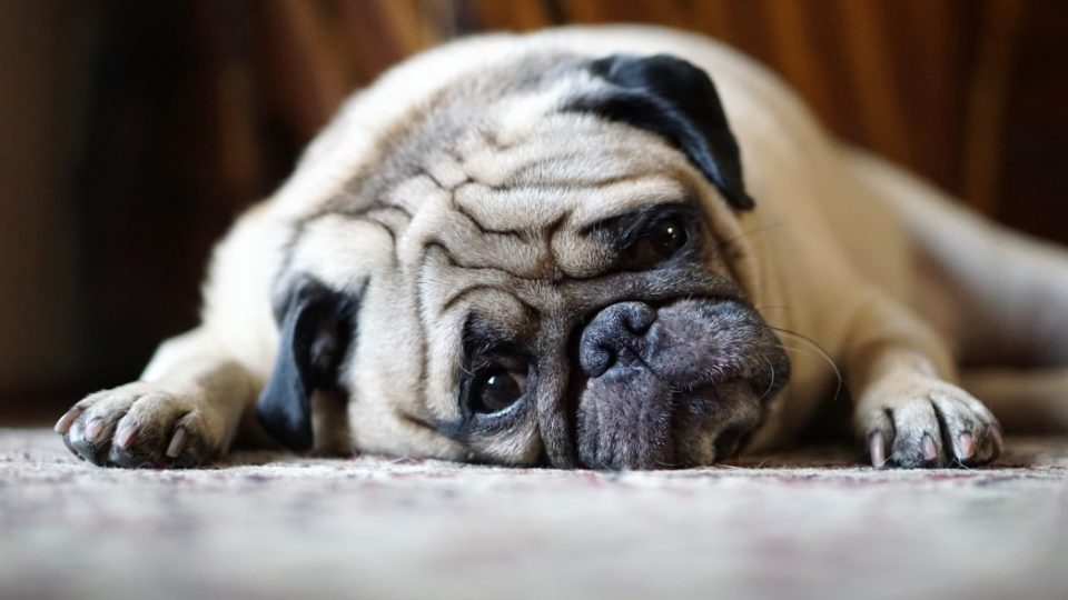 A sad pug rests, wondering how he'll get rid of fleas in the house
