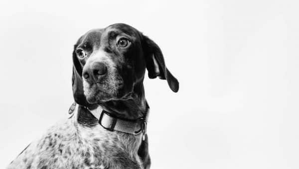 10 races de chiens aujourd'hui éteintes
