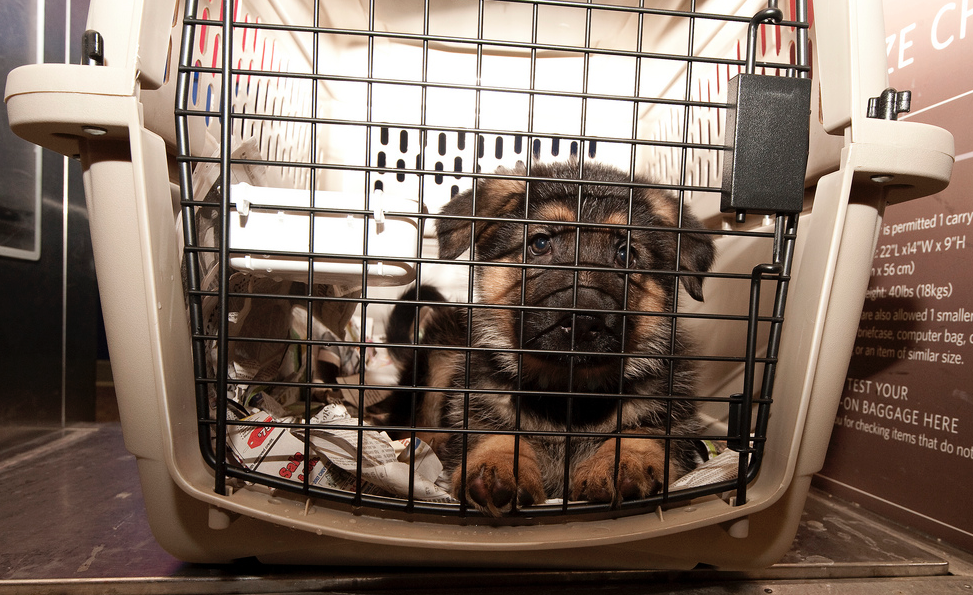 Whether in the cabin or in cargo, dogs have to fit comfortably in their crates and be willing to stay there for hours.