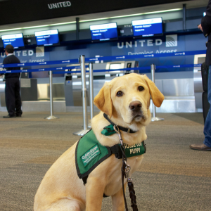 Only guide and service dogs can travel unrestricted in the plane cabin.