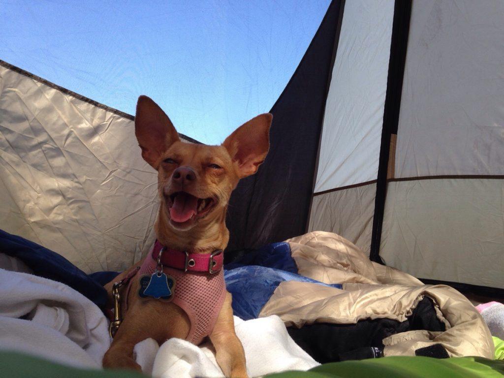 camping-happy-chihuahua