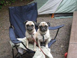 camping-pugs