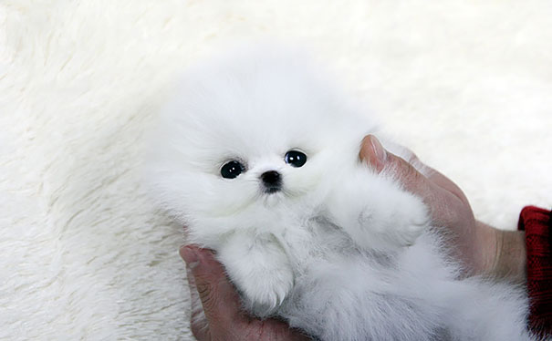 http://jungpuppyclub.blogspot.com/2013/02/teacup-puppy-for-sale-white-teacup.html
