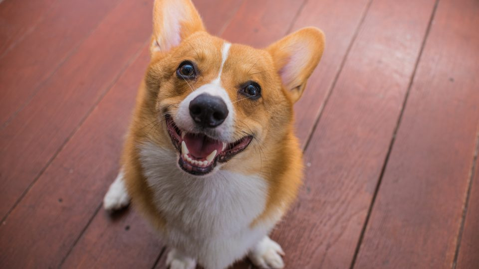 corgis among the longest-living dog breeds
