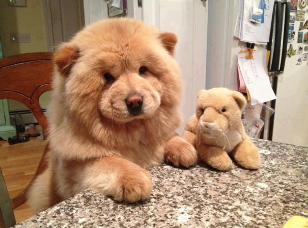 Dogs Who Look Like Teddy Bears Our Favorite Picks