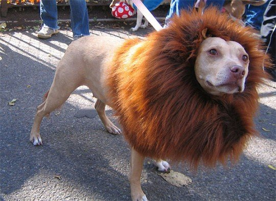 lion-mane-dog-costume-pitbull