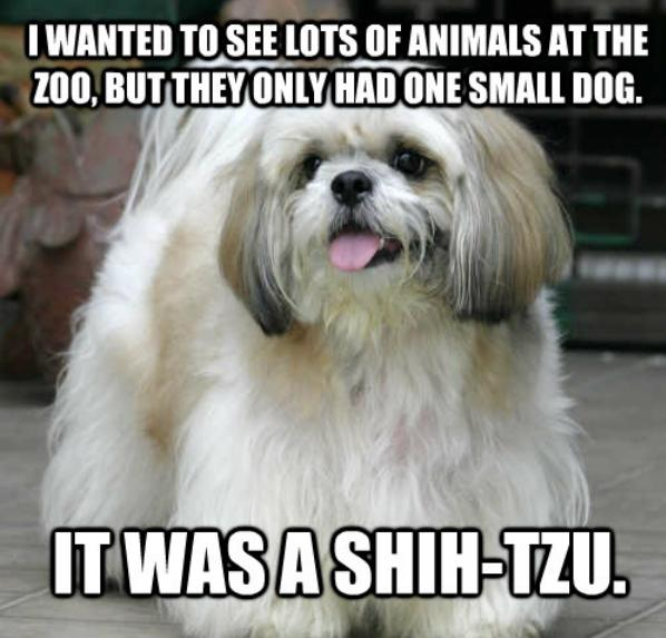 shih tzu dog joke