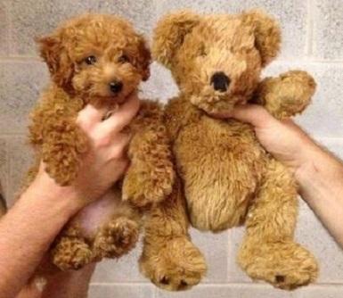 http://www.presscave.com/wp-content/uploads/2014/12/teddy-bear-dogs5.jpg