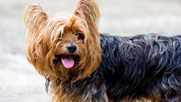Pourquoi mon chien sent mauvais ? Explications et solutions
