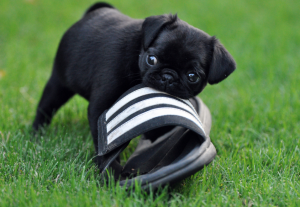 Chewing is normal behavior for puppies, but give them an outlet so they don't chew shoes and other high-value items! Photo via Flickr.