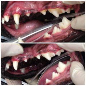 Can you tell this dog has stage 1 dental disease? The red line between the gum and the base of the tooth represents gingivitis. Regular cleaning and a professional teeth cleaning under anesthesia will reverse the problem.