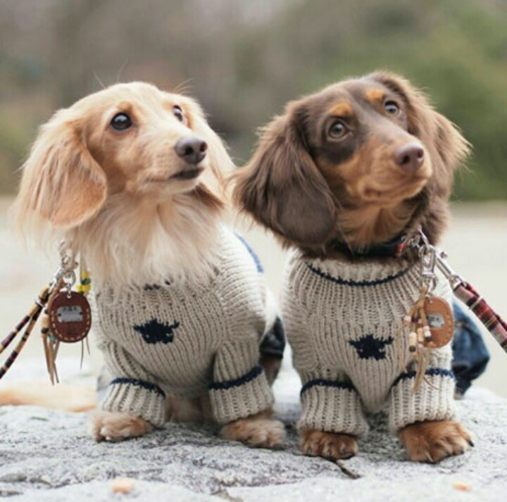 longhaired dachshund sweater fluffintop