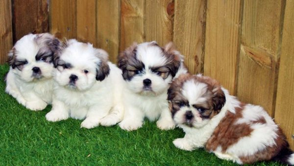 Breed Spotlight: Shih Tzu