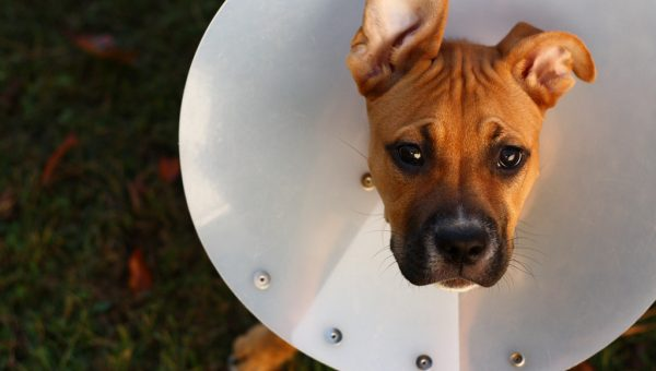 Quels sont les gestes de premiers secours pour un chien ?