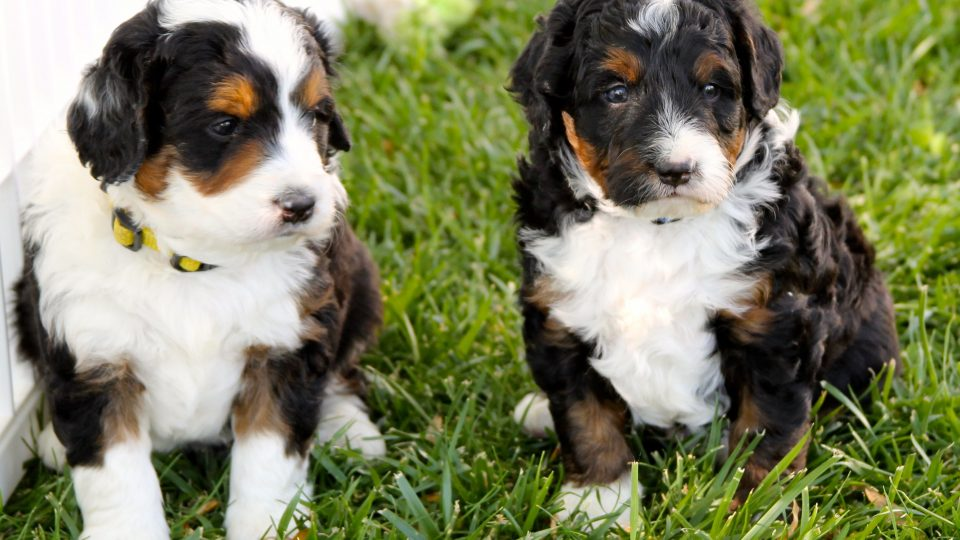 The Truth About Dog Breeding The Dog People By Rovercom
