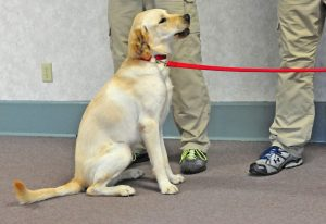 Lab in training (via flickr/statefarm)