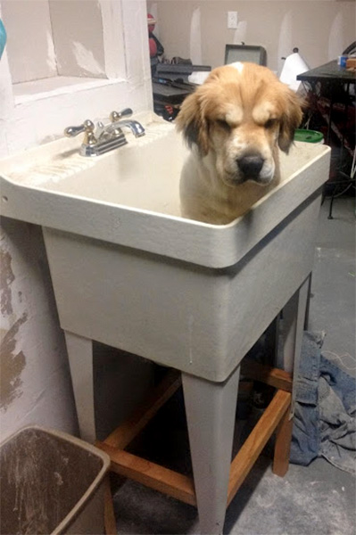 golden retriever sad bath dog