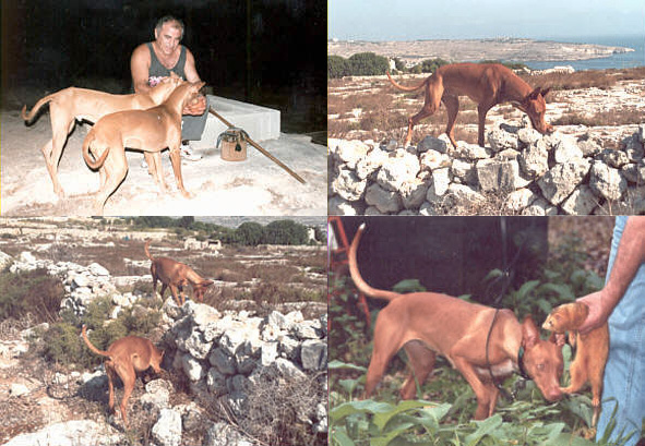 hunting pharaoh hounds malta ferret