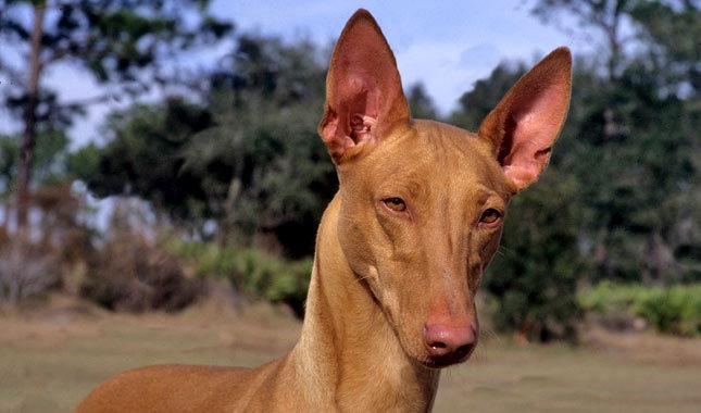pharaoh hound blush