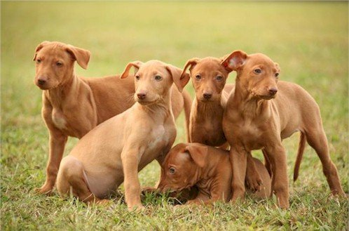 pharaoh hound puppies pre ear set