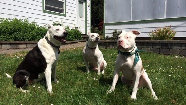 8 Pit Bull Facts Every Dog Lover Should Know