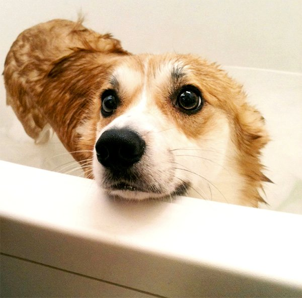 sad corgi bathtime