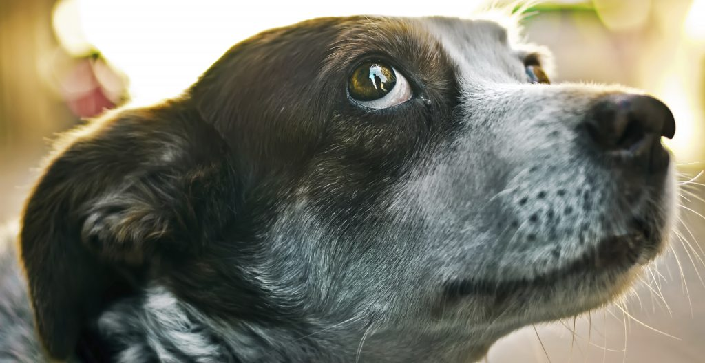 Dog Showing Whites Of Eyes