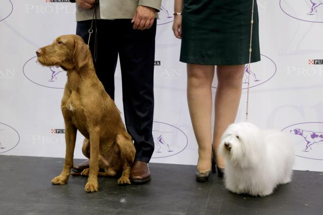 coton de Tulear and Wirehaired Vizsla national dog show additions 2014