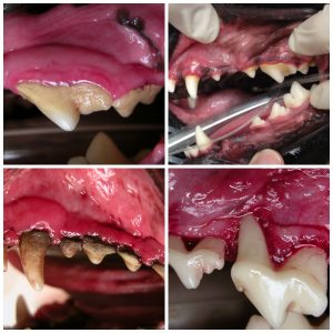 Top left, right: Early and advanced gingivitis. Note the red inflammation along the gumline in the second image, showing how the disease is progressing. Treatment at this stage is key to reversing dental disease. Bottom left, right: Stage 3 and 4 periodontal disease, characterized by bone and gum loss. The roots of the teeth are exposed and bacteria is seeping into the dog's bloodstream, putting his life in danger.