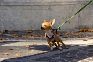 leash-chihuahua-pulling