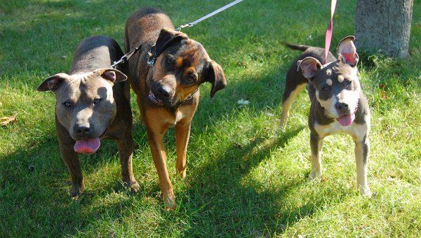 three dogs on leash