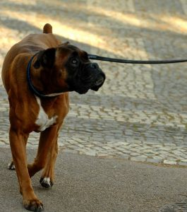 Make sure your dog is paying attention to you on the walk, not everything around you. Image via Flickr.