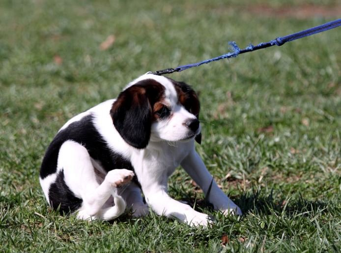 Introduce your puppy to the leash as soon as possible. Start them in the house, then the yard, and eventually outside. Image via Flickr.