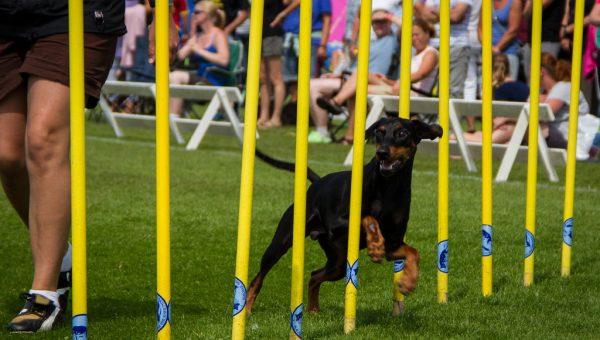 Oui, même votre chien peut acquérir des compétences en agility