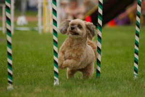 agility-weave-poles
