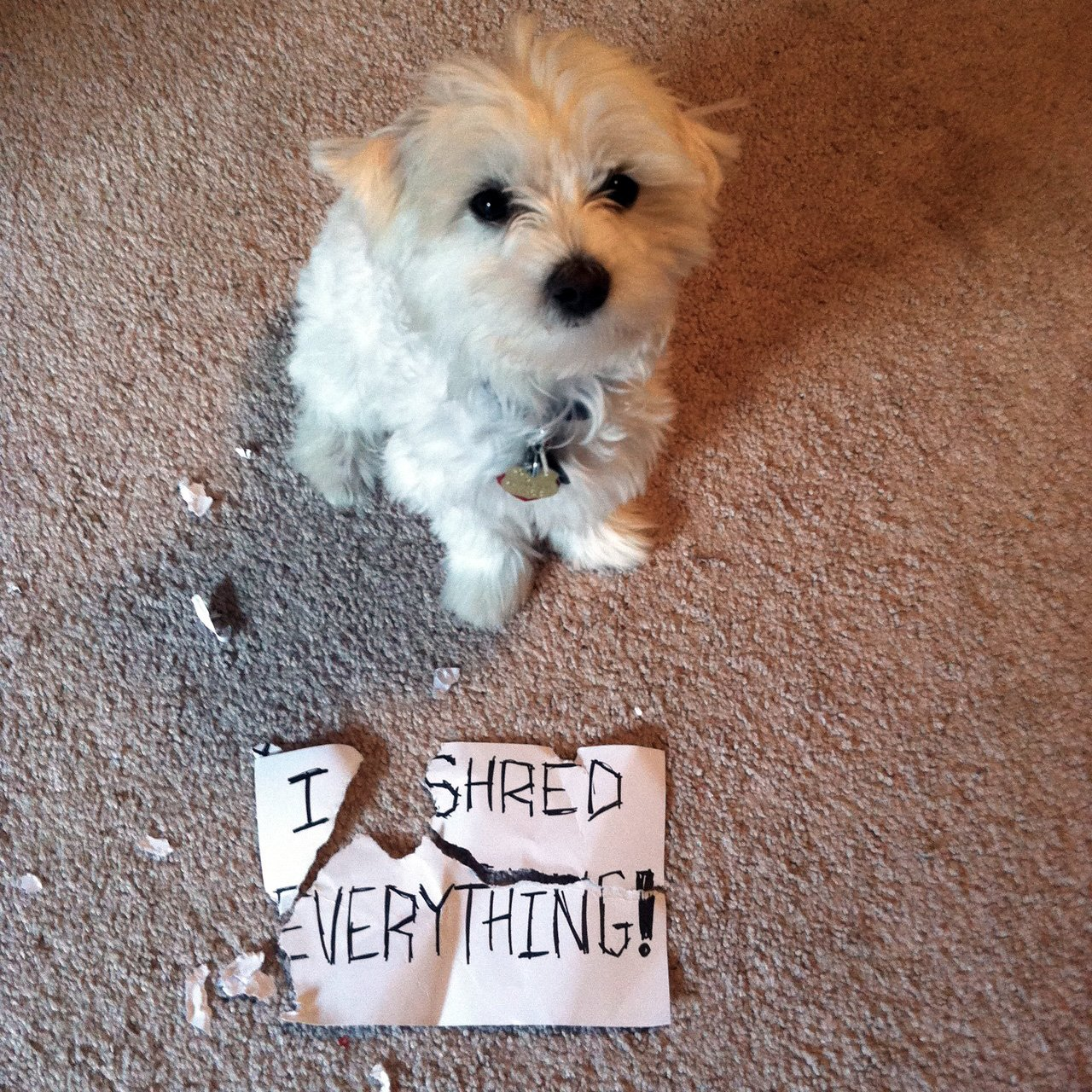 dogshaming shredding