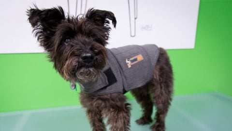 rover office dog thundershirt