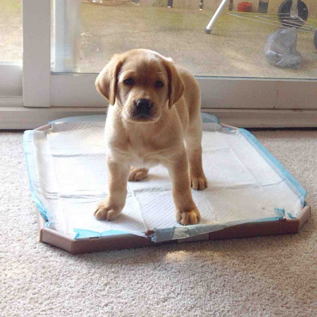 training-potty-pad