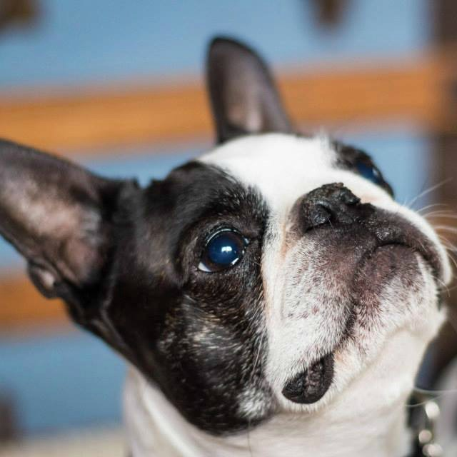boston terrier and french bulldog dog breed comparison boston terrier vs french bulldog 5144