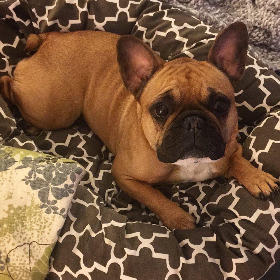 Dog Breed Comparison: Boston Terrier vs  French Bulldog   The Dog