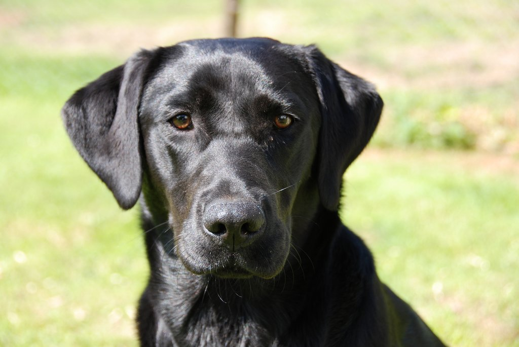 Golden Retievers vs Labrador Retrievers: Which Dog Is Right