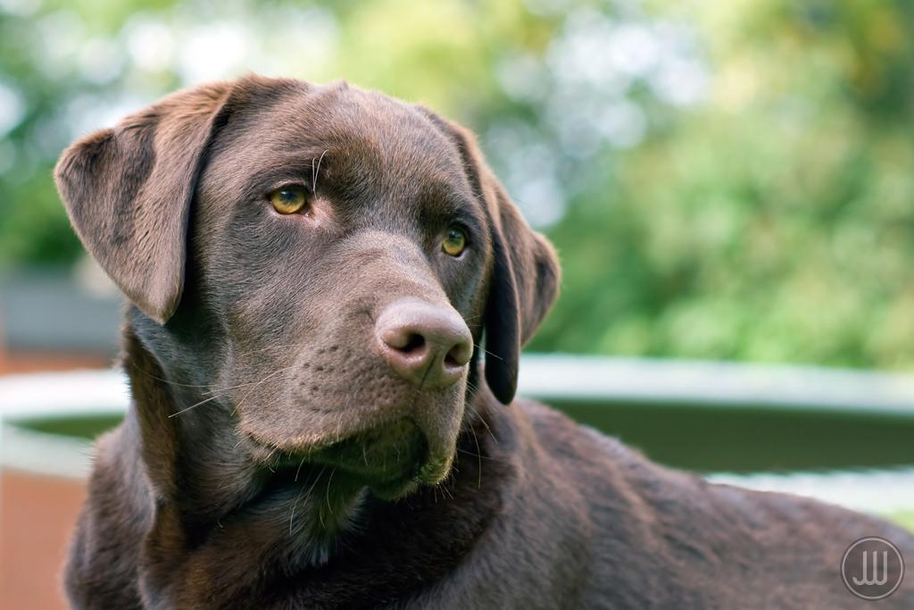 Breed Comparison: Labrador Retriever vs. Golden Retriever ...