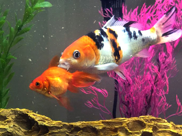 Finnelope & Fibby Feet GOLDFISH and koi rover stay